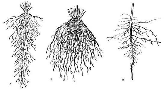 Особенности строения корневой системы хрена