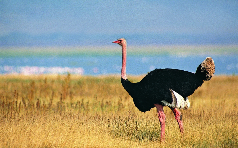 африканские страусы нанду и эму это крупные бескрылые птицы