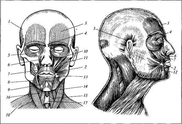 Анатомическое строение головы человека — Студопедия