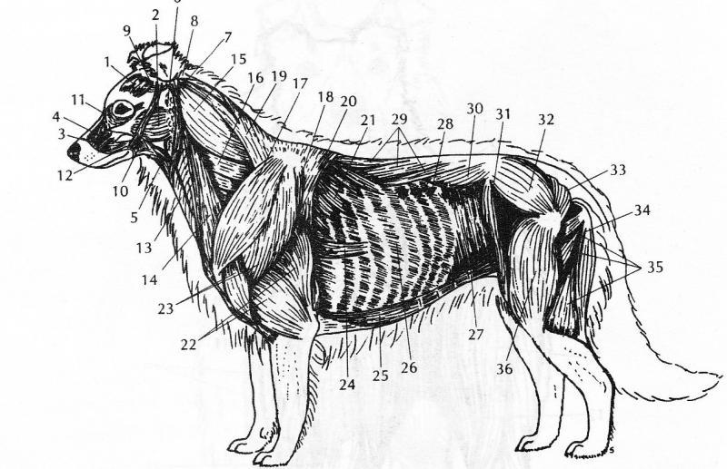 Строение головы собаки с картинкой