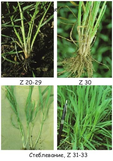 обратного фото междоузлие пшеницы айфон
