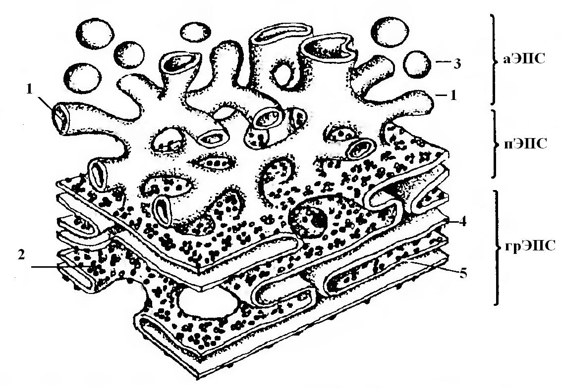 Картинка эндоплазматическая сеть