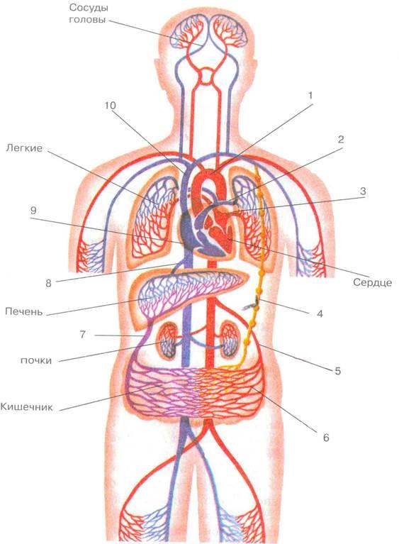 Кровь из левого желудочка поступает в